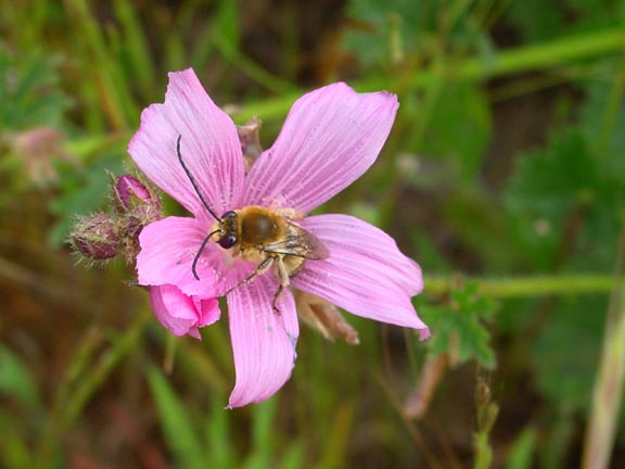 Checkerbloom & Bee