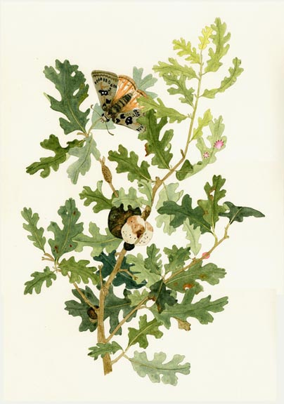 Oak and Duskywing Butterfly
