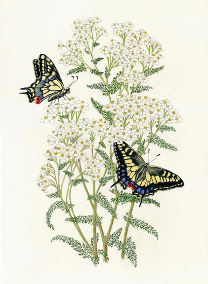 Yarrow & butterfly